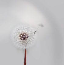 Pusteblume by Ingrid Clement-Grimmer