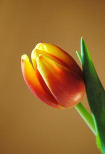 Tulpenblüte by Elke Balzen