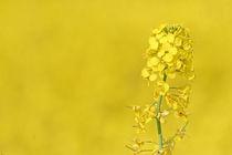 Rapsblüte von Wolfgang Dufner