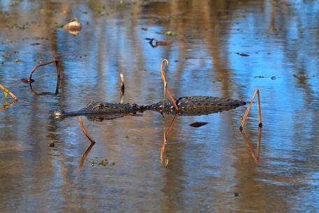 Alligator0904