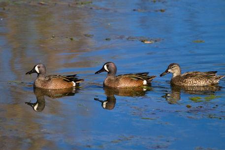 Blue-winged-teal0908