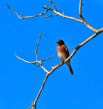 Eastern Bluebird, Sialia sialis, perched on a branch von Louise Heusinkveld