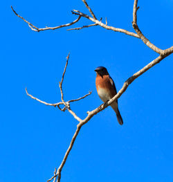 Eastern-bluebird0899