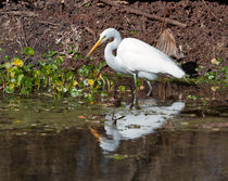 Great-egret0906