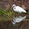 Great-egret0906