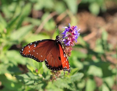 Orange-butterfly0889