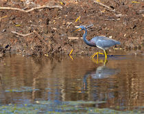 Tricolored-heron0905