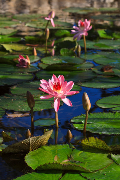 Waterlilies0921