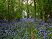 Bluebell wood by Elizabeth Marsden