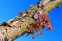 Blüten am Japanischen Kirschbaumstamm von Wolfgang Dufner
