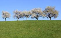 Blühende Kirschbäume von Wolfgang Dufner