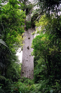 The World's Oldest Wood, Ancient Kauri by David Hernández-Palmar