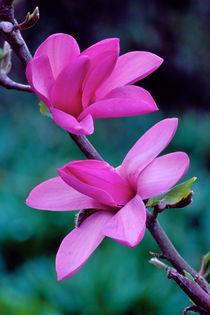 Magnolia Apollo 421 von Patrick O'Leary