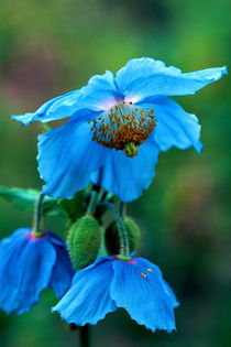 Blue Poppy 666 by Patrick O'Leary