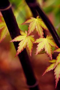 449af-bamboo-japanese-maple-060777-002-rv-2-v-13