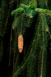 Snake Branch Spruce Cone 688 von Patrick O'Leary