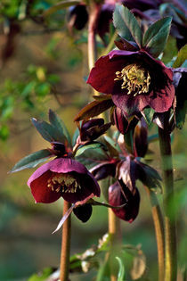 Hellebore 'Pluto' 685 by Patrick O'Leary