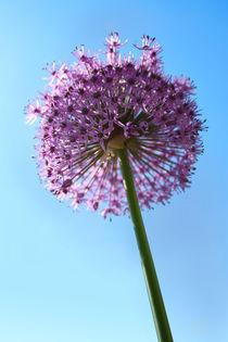 Gigant Allium von corsza