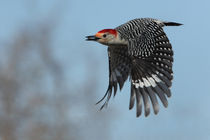 Carrot Top Cruiser (Red-bellied Woodpecker) von Howard Cheek