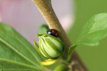 Käfer auf Knospe von Günther Lippl