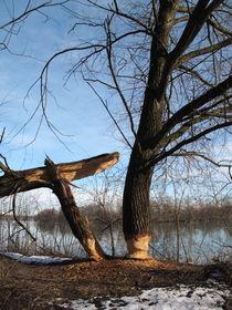 Biberbaum von Günther Lippl