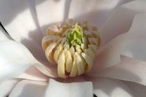Magnolienblüte von Günther Lippl