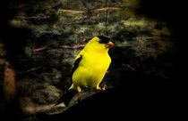 Yellow Finch In Fall von Cris  Hayes