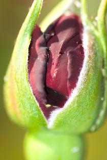 Rose by Filipe Costa
