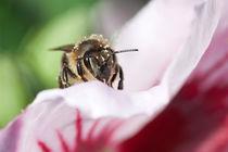 Bienenporträt von Günther Lippl
