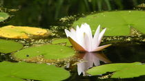 Water Lily by Leslie Gerhart