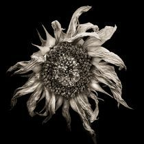 sunflower by Jaromir Hron