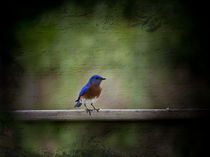 Eastern Bluebird  by Cris  Hayes