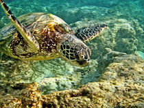 Green Sea Turtle von Michael Peychich