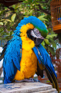 Blue Yellow Macaw von sconig