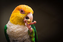 Closeup of a parrot eating fruits by Leandro Brito