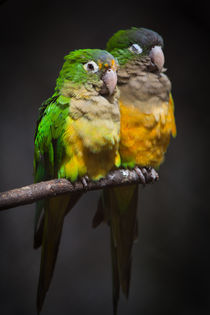 Parrot love by Leandro Brito