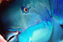 Parrot Fish by martino motti