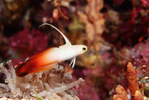 Fire Goby by martino motti