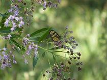 Butterflies by Florentina Necunoscutu de Carvalho