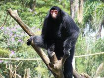 Spider monkey von Florentina Necunoscutu de Carvalho