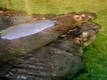 Chillende Nilpferde von Kathrin Kiss-Elder