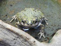 Frosch von Kathrin Kiss-Elder