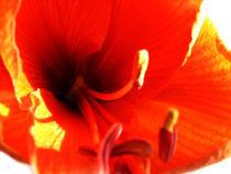 Amarillis - Red von Geneviève Khayat