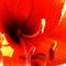 Amarillis-red