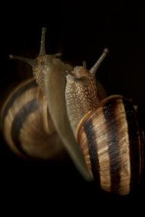 Snail by Deyan Sedlarski