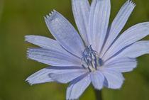 Blue flower von Deyan Sedlarski