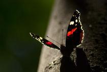 Butterfly - Admiral by Deyan Sedlarski