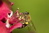 Bee von Deyan Sedlarski