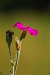 Flower by Deyan Sedlarski