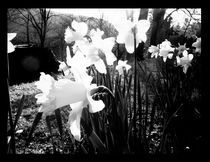 daffodils  by Ralf Mauermann